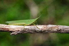 Image of Mediterranean Slant-faced Grasshopper. Royalty Free Stock Image