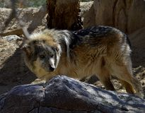 Mexican Wolf behind a rock Stock Photo