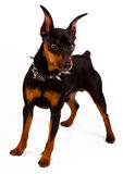 Image of miniature pinscher stock image