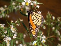 Monarch Butterfly. An image of a monarch Butterfly royalty free stock photo