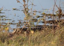 IMAGE OF MONITOR LIZARD NEXT TO WATER stock photo