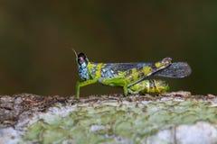 Image of monkey grasshopper Erianthus serratus. On tree. Insect. Animal Royalty Free Stock Photo