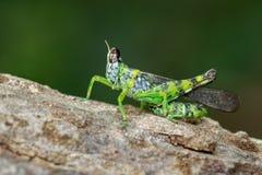 Image of monkey grasshopper Erianthus serratus. Image of monkey grasshopper Erianthus serratus on tree. Insect. Animal Royalty Free Stock Photo