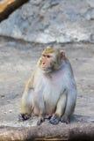 Image of monkey sitting. Royalty Free Stock Images