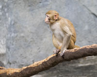 Image of monkey sitting. Royalty Free Stock Photo
