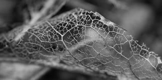 Image mono d'un squelette de feuille Photo stock