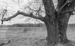 image monochrome Chêne antique sombre en premier ressort Photos stock