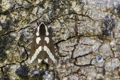 Image of Moth Nannoarctia tripartita on tree. Insect. Royalty Free Stock Photo