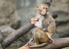 Image of mother monkey and baby monkey. Royalty Free Stock Image