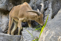 Image of a mountain goats standing on a rock and eating grass. Royalty Free Stock Photo