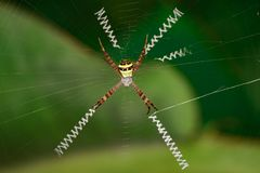 Image of multi-coloured argiope spider Argiope pulchellla. In the net. Insect. Animal Stock Image