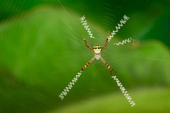 Image of multi-coloured argiope spider. Image of multi-coloured argiope spider Argiope pulchellla.  in the net. Insect. Animal Stock Photo