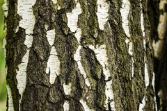 The image of the natural bark of a birch tree as an abstract decorative background Stock Photo