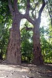 Husband-Wife Tree!. The image of the natural grafting of two trees of same species, Terminalia Arjuna trees. This natural phenomenon known as Inosculation. Such stock image