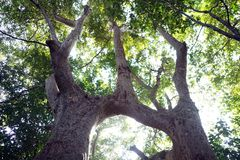 Branch of Husband-Wife Tree!. The image of the natural grafting of two trees of same species, Terminalia Arjuna trees. This natural phenomenon known as stock image