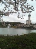 Natural Sakura flower of japan stock photo