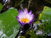 Natural Lite purple color Water Lily Flower of sri lanka. This is image Natural very Beautiful Lite Purple color Water Lily Flower. 100% Real image royalty free stock photos