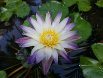 Natural Mix White color Water Lily Flower of sri lanka. This is image Natural very Beautiful mix white color Water Lily Flower. 100% Real image stock images