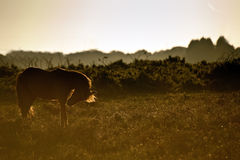 Image of New Forest pony backlit by rising sun Stock Photo