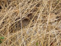 New Rabbit Kit Hiding. Image of a new, and very young rabbit kit. Hiding within the blades of the tall grass. Taken while hiking near Springfield Missouri Stock Photos