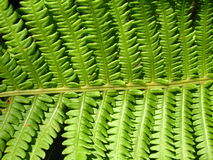 Fine pattern from leaves of fern Royalty Free Stock Image