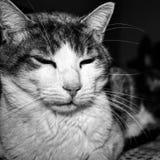 image noire et blanche dépeignant le chat hybride calme sur le lit image stock