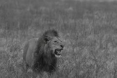 Image noire et blanche du lion masculin se tenant dans le domaine Photographie stock