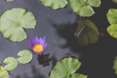 Image of Nymphaea in the pond. beautiful violet water lily background. Details and colors. Image of blooming Nymphaea in the pond. beautiful violet water lily stock images