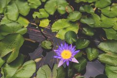 Image of Nymphaea in the pond. beautiful violet water lily background. Details and colors. Image of blooming Nymphaea with leaves in the pond. beautiful violet royalty free stock photo
