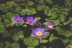 Image of Nymphaea in the pond. beautiful violet water lily background. Details and colors. Image of purple Nymphaea in the pond. beautiful violet water lily royalty free stock photography