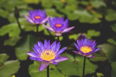Image of Nymphaea in the pond. Beautiful violet water lily or blue lotus background. Details and colors. Image of Nymphaea in the pond. beautiful violet water royalty free stock image