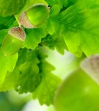 Image of oak leaf with acorns Stock Image