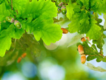 Image of oak leaf with acorns on a green background Stock Images