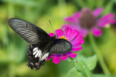 Image Of Common Rose Butterfly On Nature Background. Insect Stock Photos
