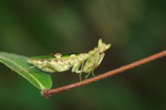 Free Image Of Flower MantisCreobroter Gemmatus On Green Leaves. Stock Images - 102639924