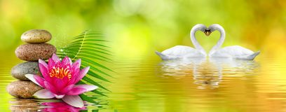 Free Image Of Lotus Flower, Stones And Swans In The Park Close Up Stock Photography - 152677032