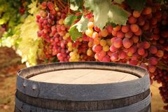 Image of old oak wine barrel in front of wine yard landscape. Useful for product display montage. Royalty Free Stock Image