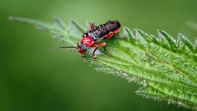 Soldier beetles or Leatherwing, Cantharis nigra, Red Form on Nettle Leaf. This is an image of one of the Soldier beetles Cantharidae or leatherwings known as stock image