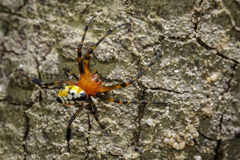Image of an opadometa fastigata spiders. Stock Images