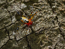 Image of an opadometa fastigata spiders. Royalty Free Stock Photo