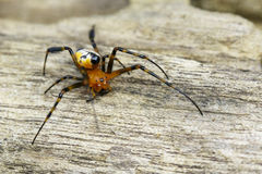 Image of an opadometa fastigata spiders. Royalty Free Stock Photography
