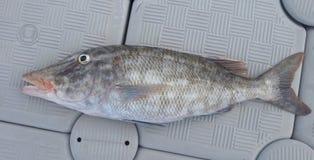 Orange-striped emperor fish caught in Diego Garcia stock images