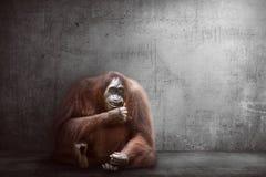 Image of orangutan Stock Images