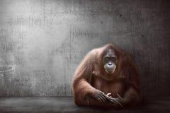 Image of orangutan Royalty Free Stock Photos