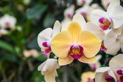 Image of a Orchid flower beautiful in tropical garden. Phalaenop. Sis orchid or Moth orchid Royalty Free Stock Photo