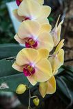 Image of a Orchid flower beautiful in tropical garden. Phalaenop. Sis orchid or Moth orchid Royalty Free Stock Photos