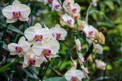 Image of a Orchid flower beautiful in tropical garden. Phalaenop. Sis orchid or Moth orchid Stock Image