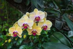 Image of a Orchid flower beautiful in tropical garden. Phalaenop. Sis orchid or Moth orchid Royalty Free Stock Images