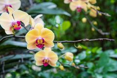 Image of a Orchid flower beautiful in tropical garden. Phalaenop. Sis orchid or Moth orchid Royalty Free Stock Photography