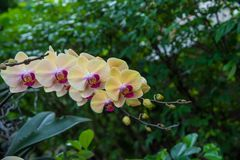 Image of a Orchid flower beautiful in tropical garden. Phalaenop. Sis orchid or Moth orchid Stock Photography